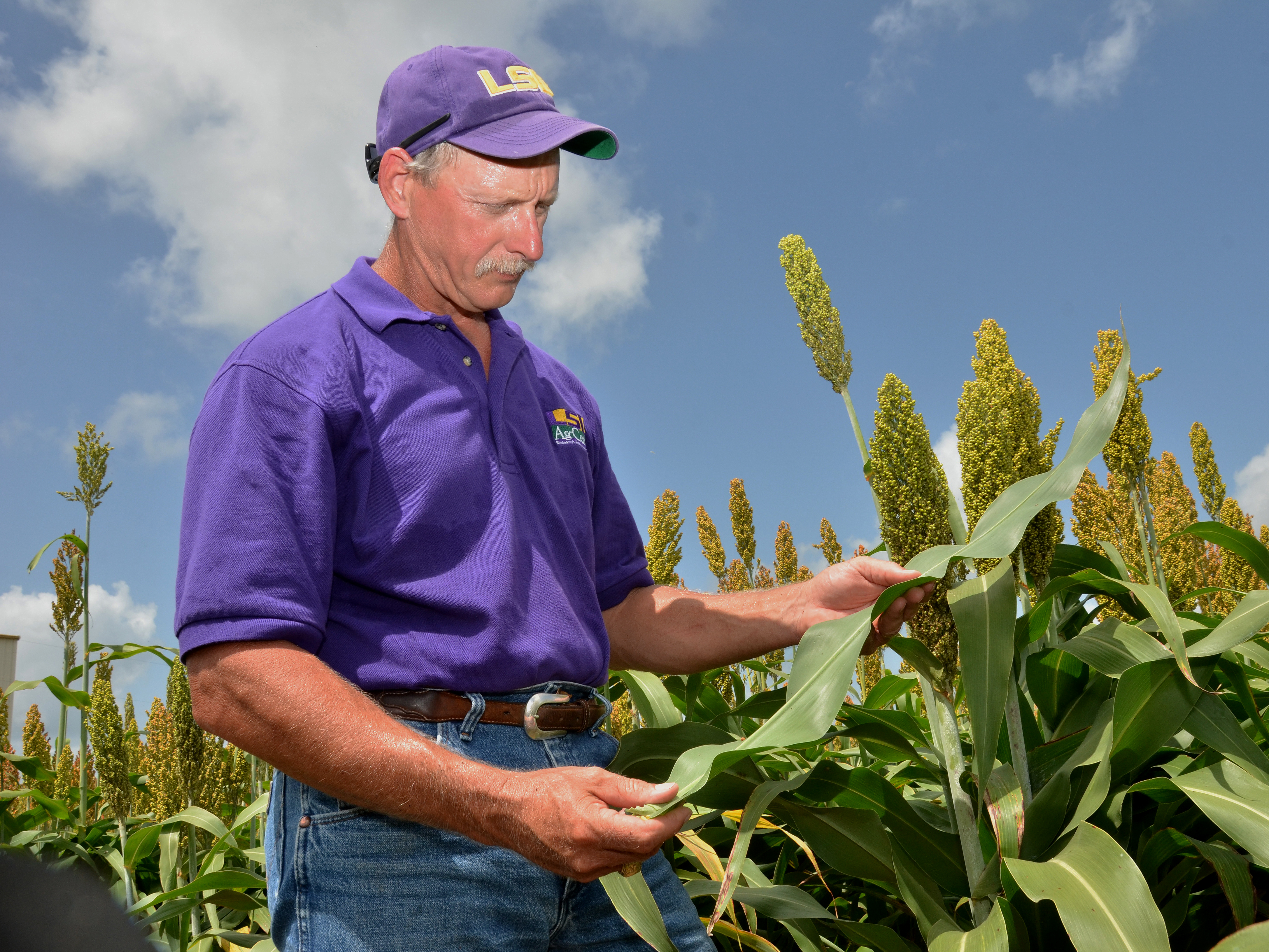 Kerns in sorghum field