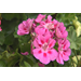 Waning geraniums can be revived for fall