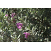Drought-tolerant Texas sage has beautiful flowers, silver leaves