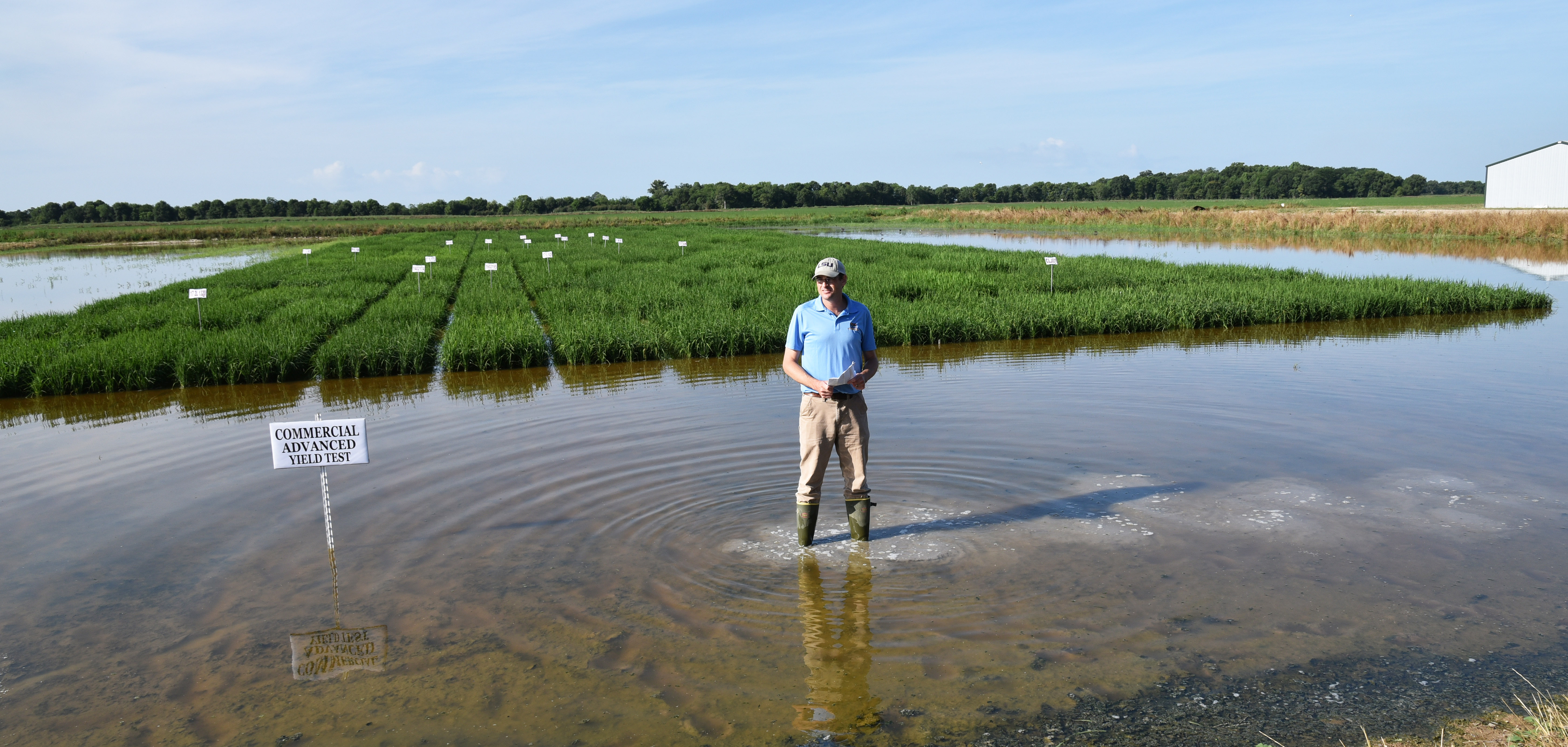 Weather changes affecting rice crop
