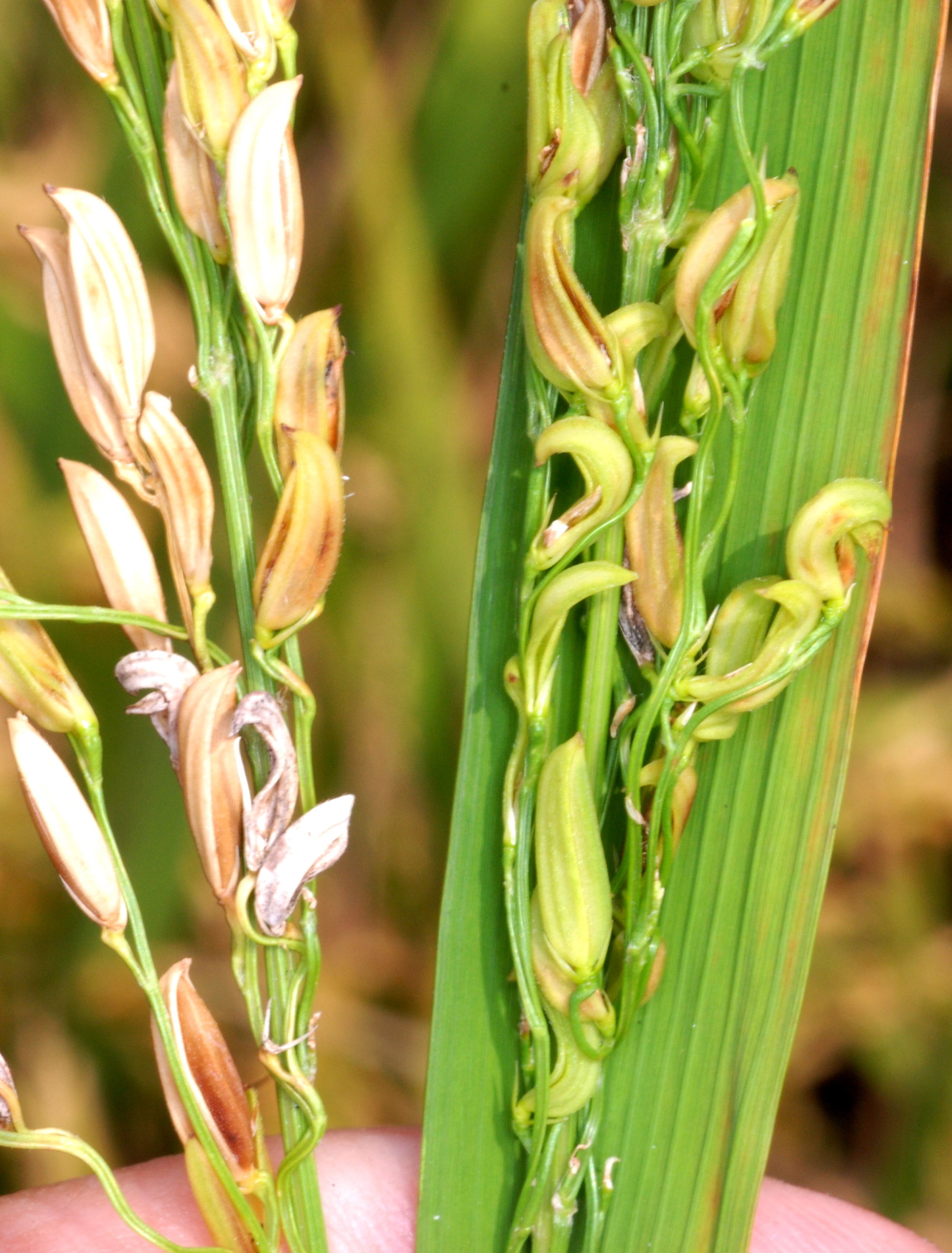 Rice Grains Severely Affected