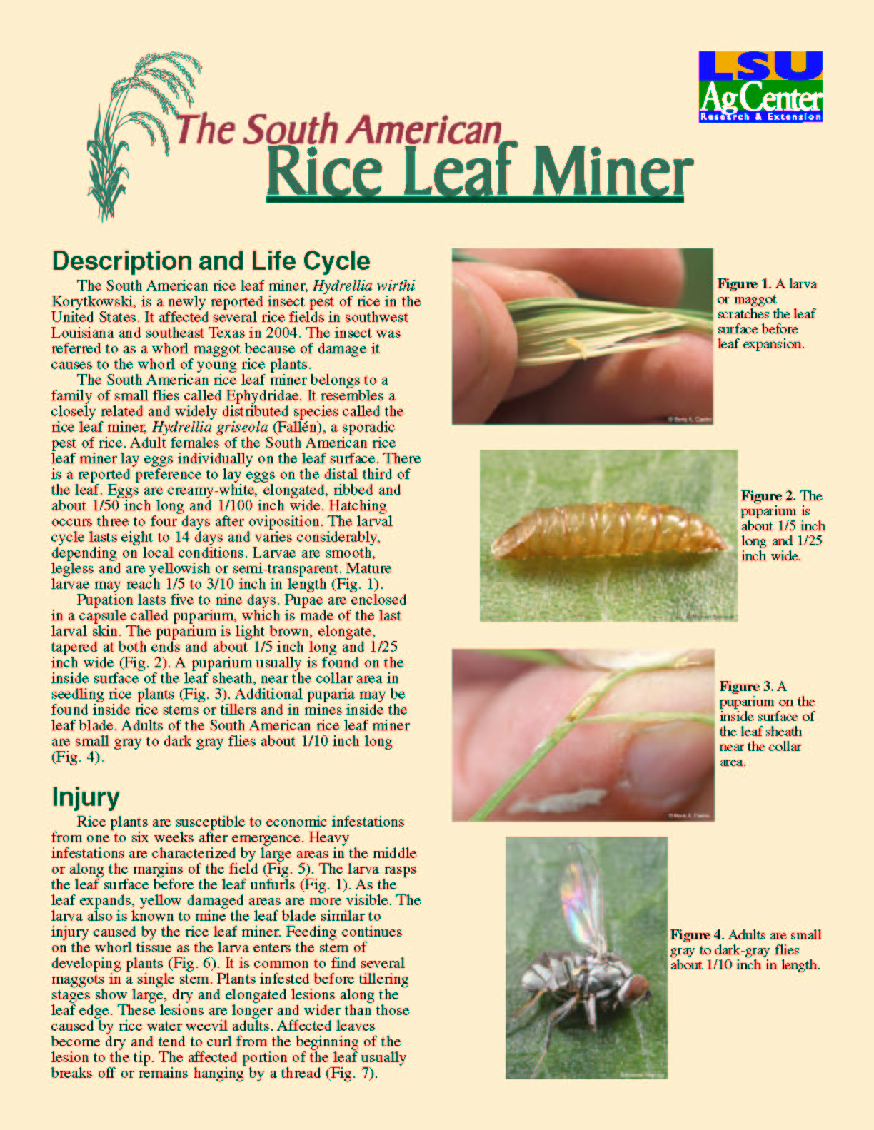 The South American Rice Leaf Miner