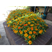 Profusion and Zahara Zinnias – Ornamental Plants of the Week for July 13, 2015