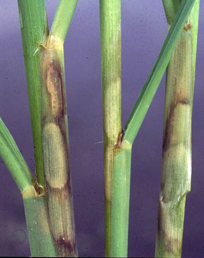 Water-Soaked Sheath Blight Lesions