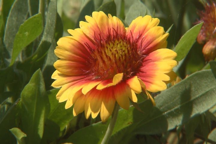 Mesa gaillardia blooms throughout the year