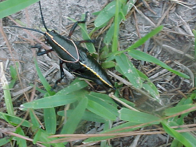 Eastern Lubber Grasshoppers are on the Move