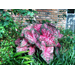 Caladiums are a colorful choice for shady beds