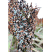 Preharvest Sprouting or Weathering of Grain Sorghum
