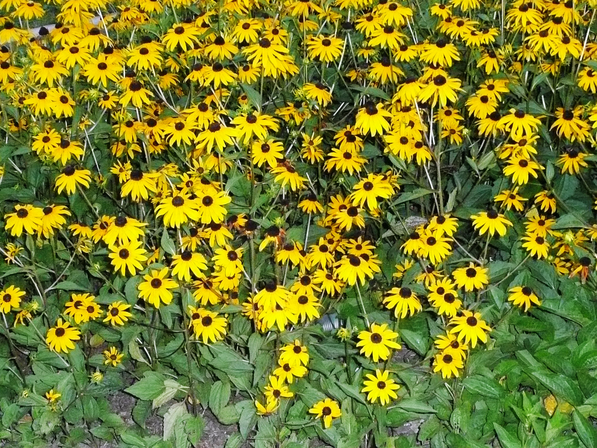 Rudbeckia offers annual perennial color in louisiana mightylinksfo