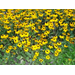Rudbeckia offers annual, perennial color in Louisiana