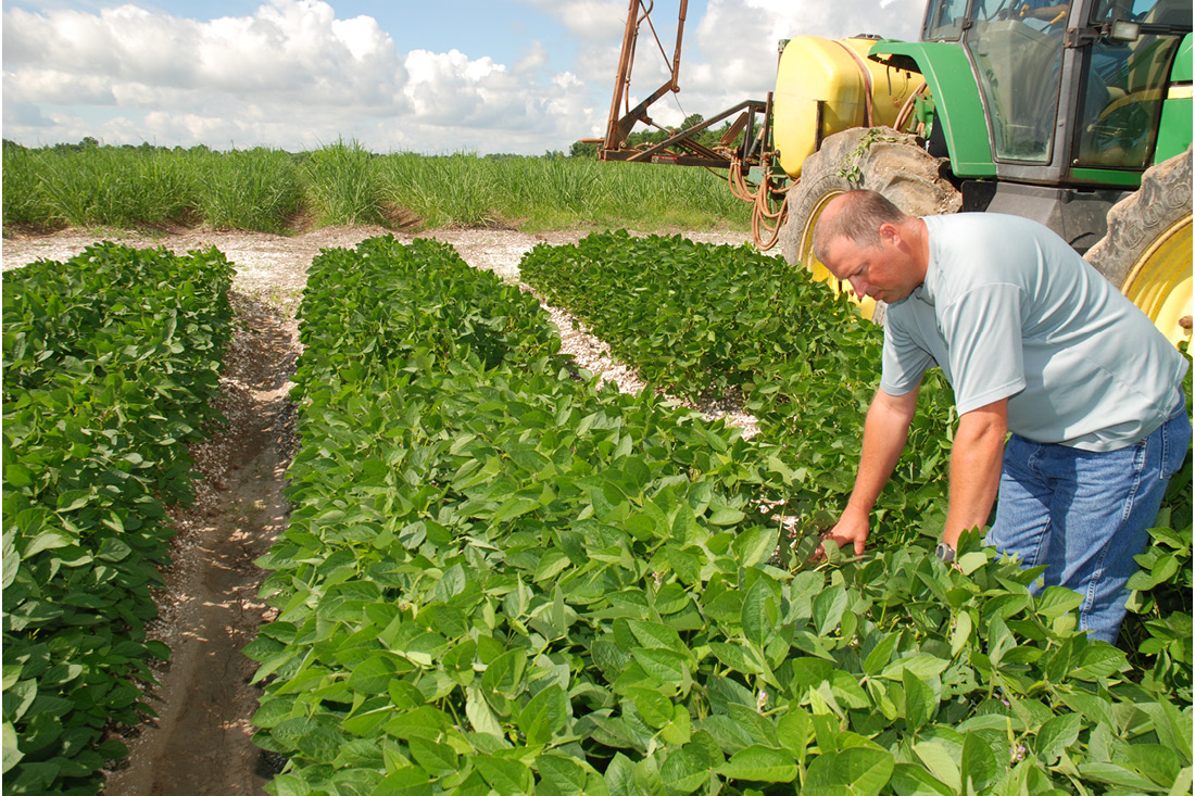AgCenter weed scientist Al Orgeron checks on soybeans