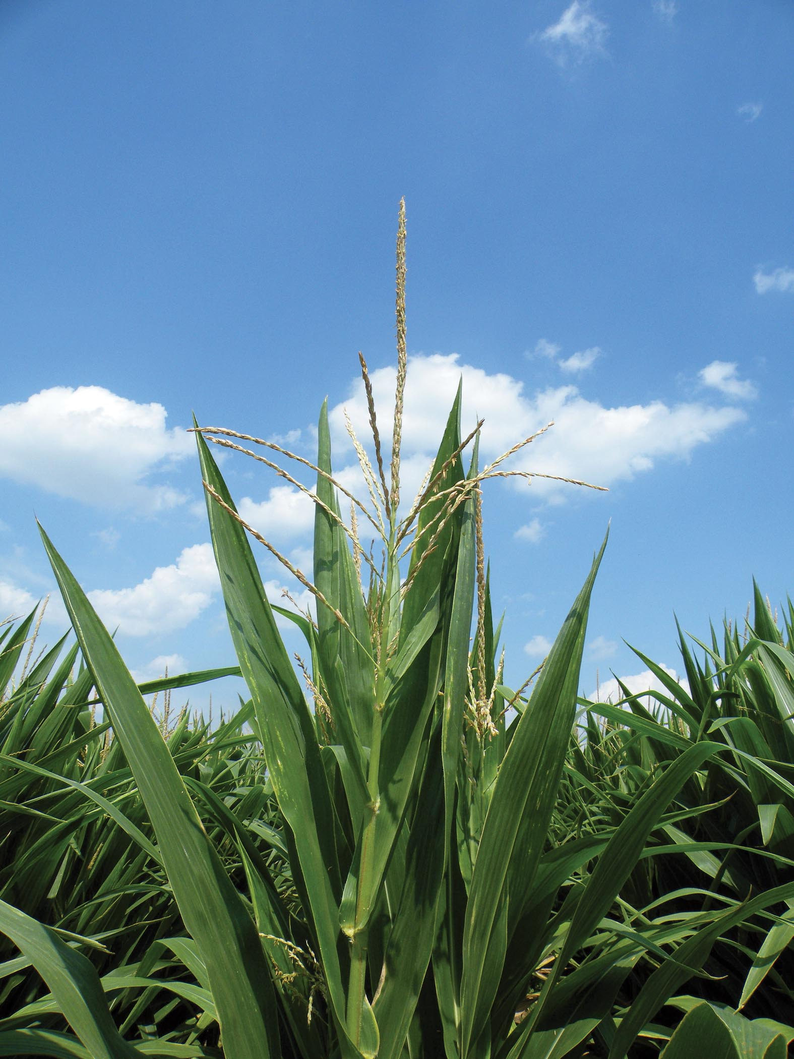 Foliar-applied Fungicides in Corn: Does It Pay?