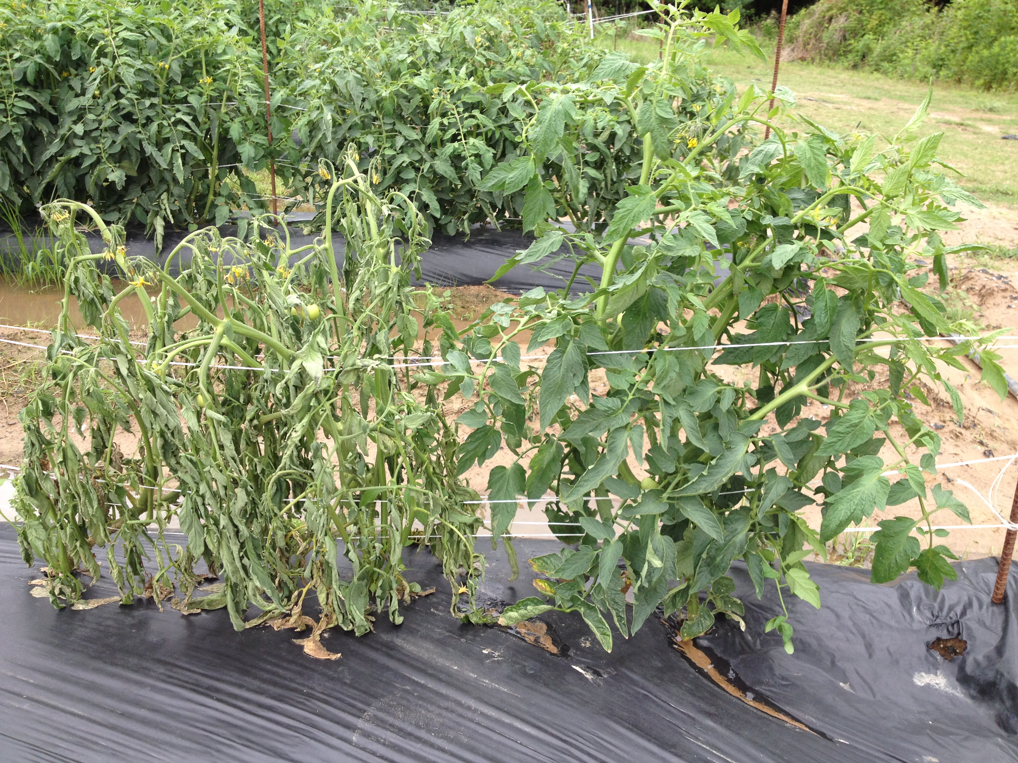 Southern bacterial wilt now a problem in Louisiana vegetables