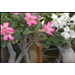 Desert Rose is a tough artistic container plant