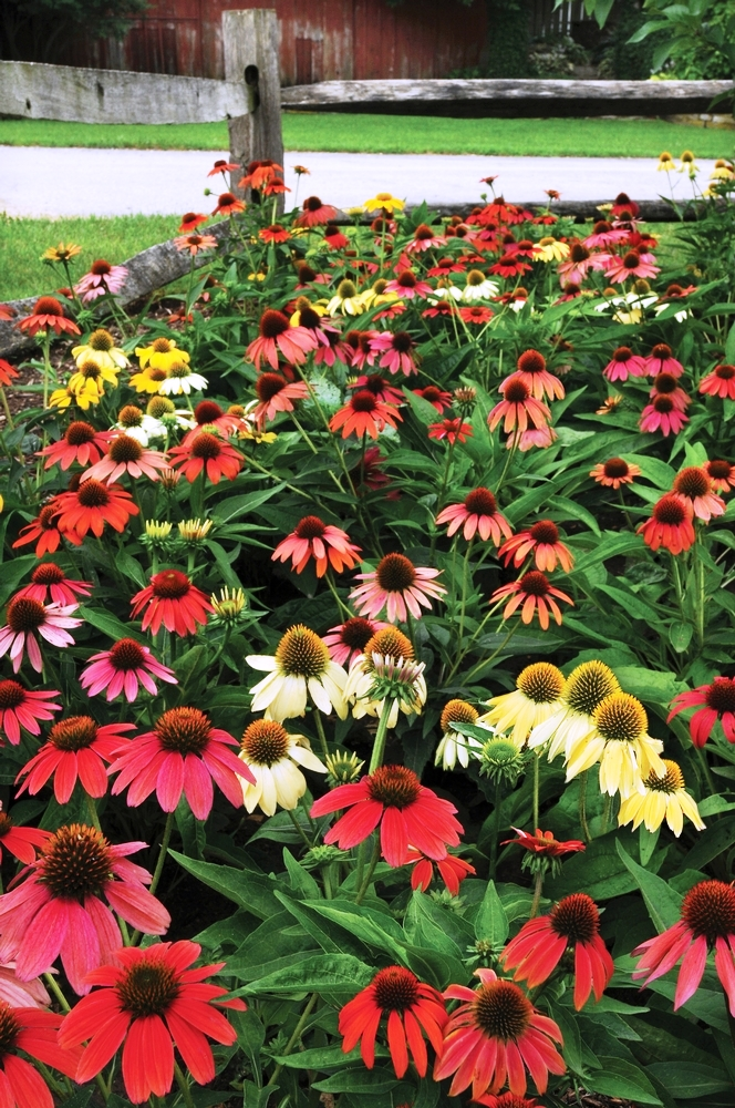 Echinacea named perennial of the year