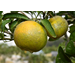 Citrus meetings set for Feb. 23, 27 in New Orleans area