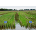 Study Options when Choosing Rice Varieties in Crawfish Ponds