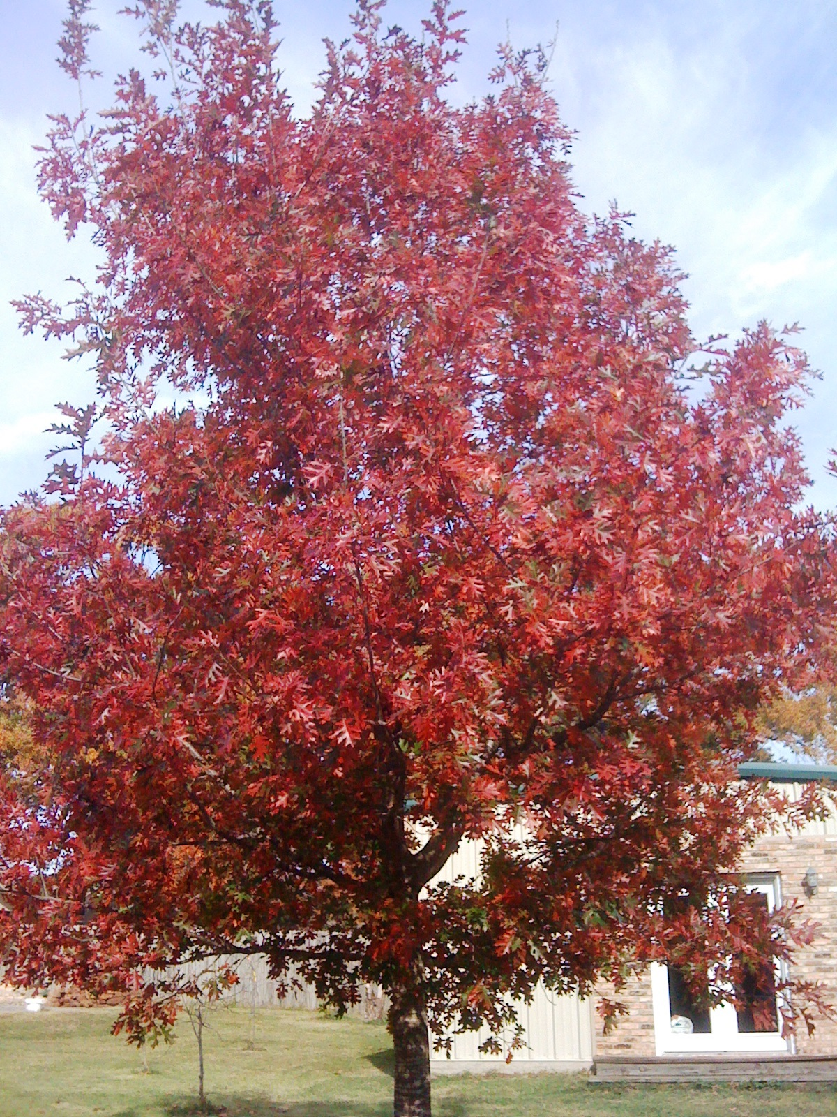 Nuttall Oak – Ornamental Plant of the Week for September 2, 2013