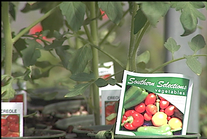 Gardeners can plant a second crop of tomatoes