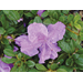 Encore varieties lead multi-season azaleas