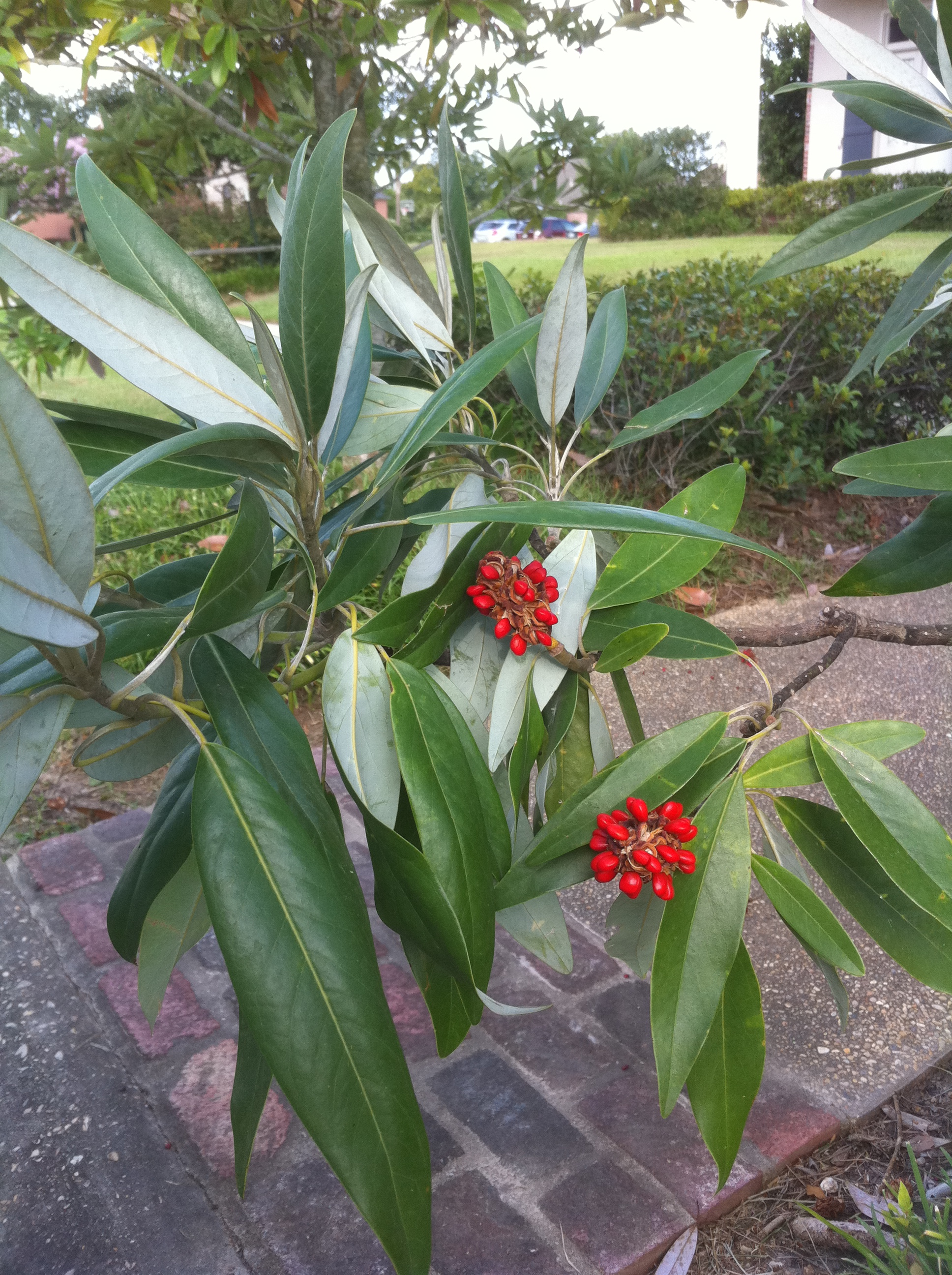 Ogrod I Taras Magnolia Virginiana Sweetbay Magnolia Tree Seeds