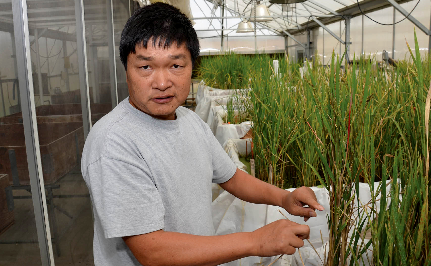 Photo of LSU AgCenter rice breeder Dr. Xueyan Sha works on a line of rice being grown in a greenhous