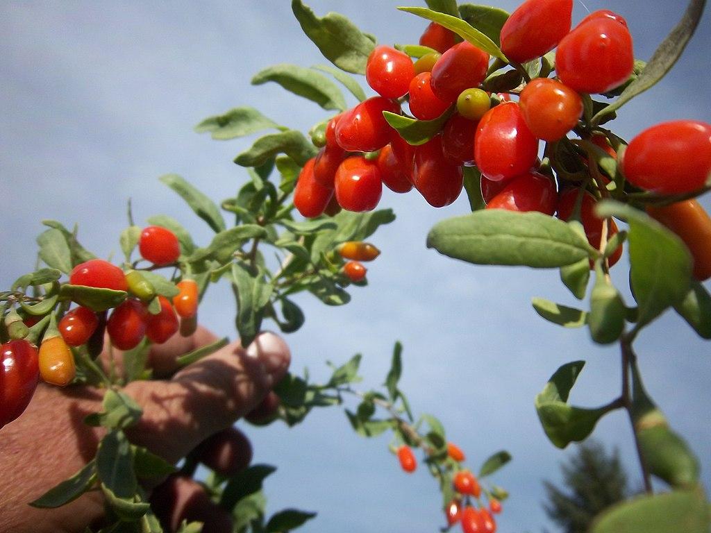 Growing Goji Berries The Latest Superfruit
