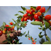 "Growing Goji Berries, the Latest ""Superfruit"""