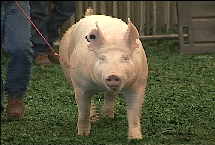 Students participate in LSU AgCenter Livestock Show