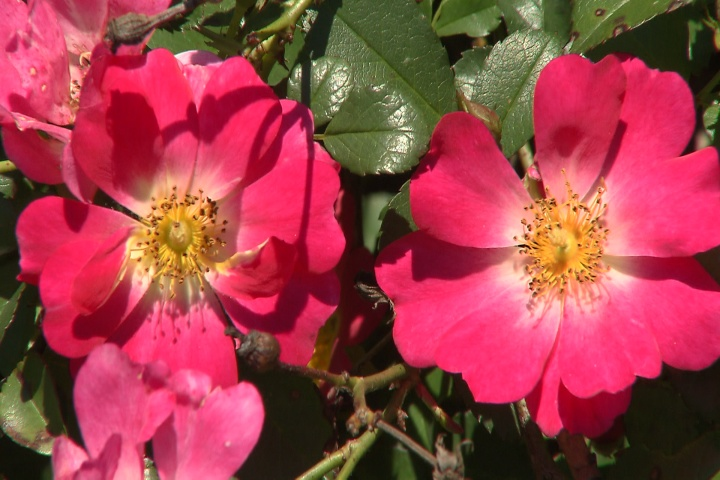 Drift rose is low-maintenance Super Plant