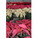 LSU AgCenter poinsettia open house set for Dec. 2 in Baton Rouge