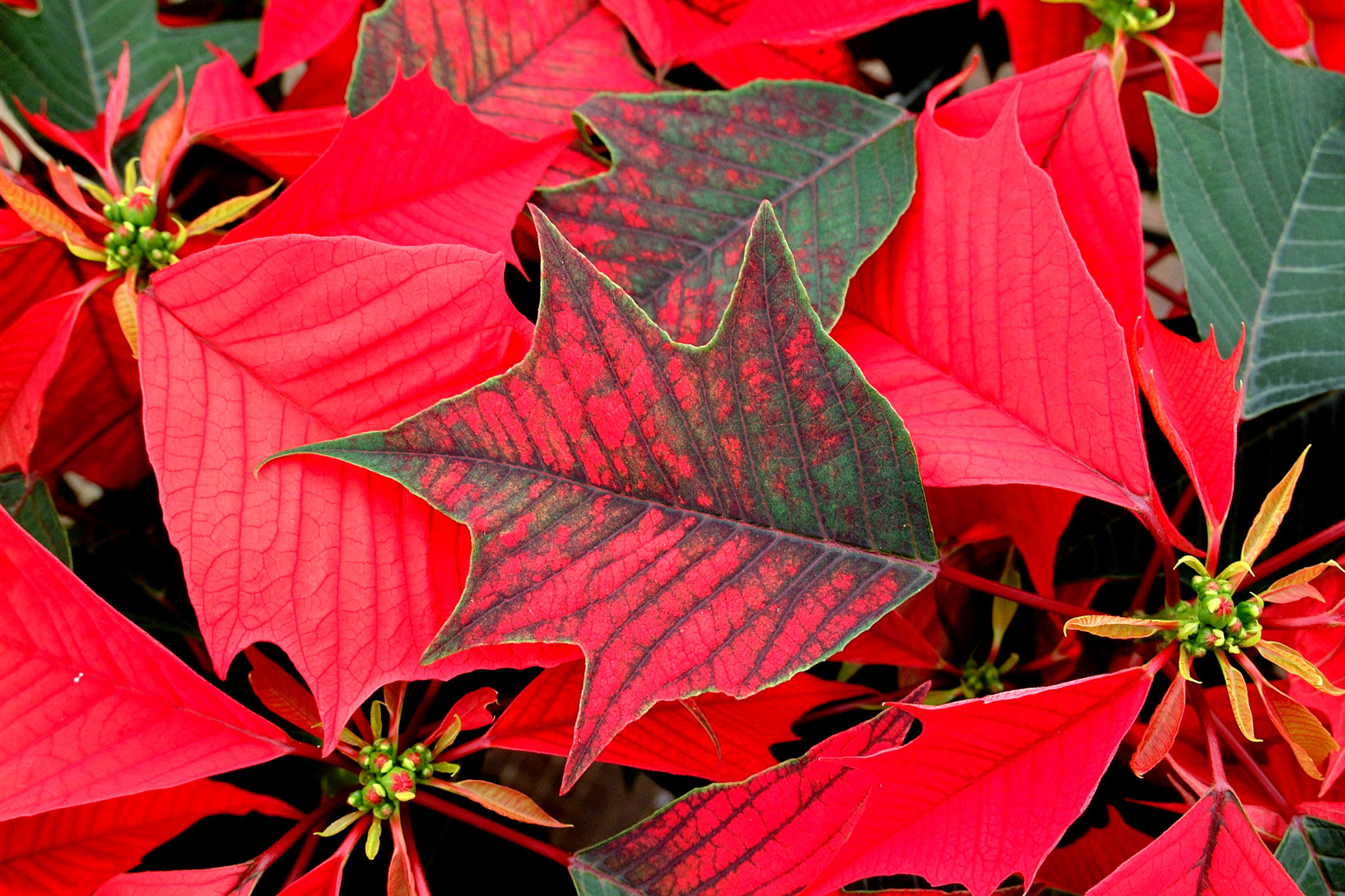 Holly Poinsettia