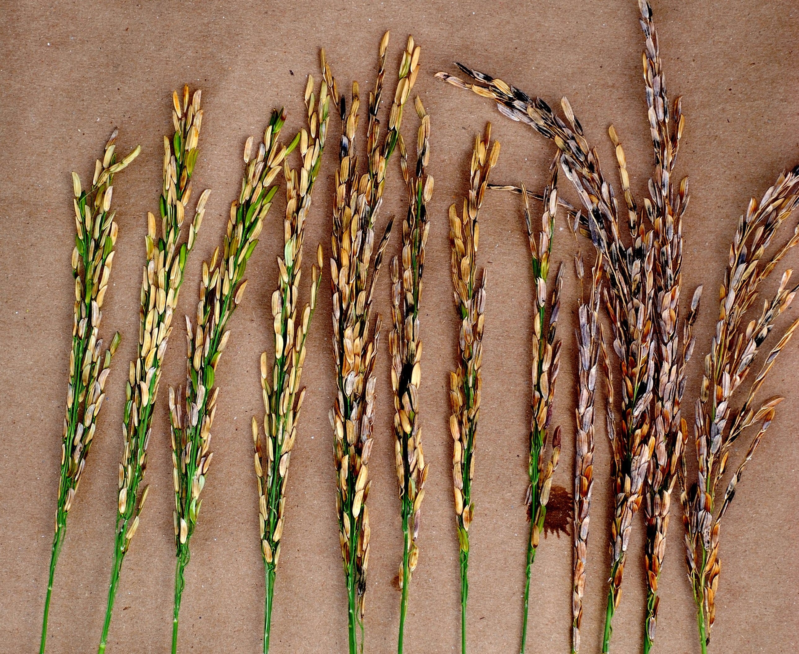 Symptoms of Bacterial Panicle Blight Infection