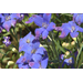 Diamonds Blue delphinium true blue Super Plant