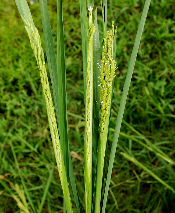 Rice is a Complex Crop to Produce