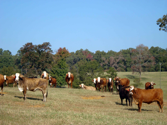 Cattle at Hill Farm Research Station