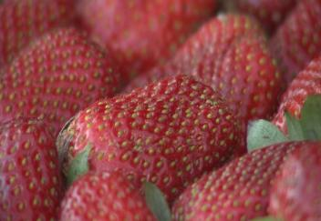 Unusual weather delays strawberry crop