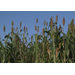 Audubon Sugar Institute is turning sweet sorghum into biochemicals