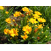 Coreopsis add color to the summer landscape
