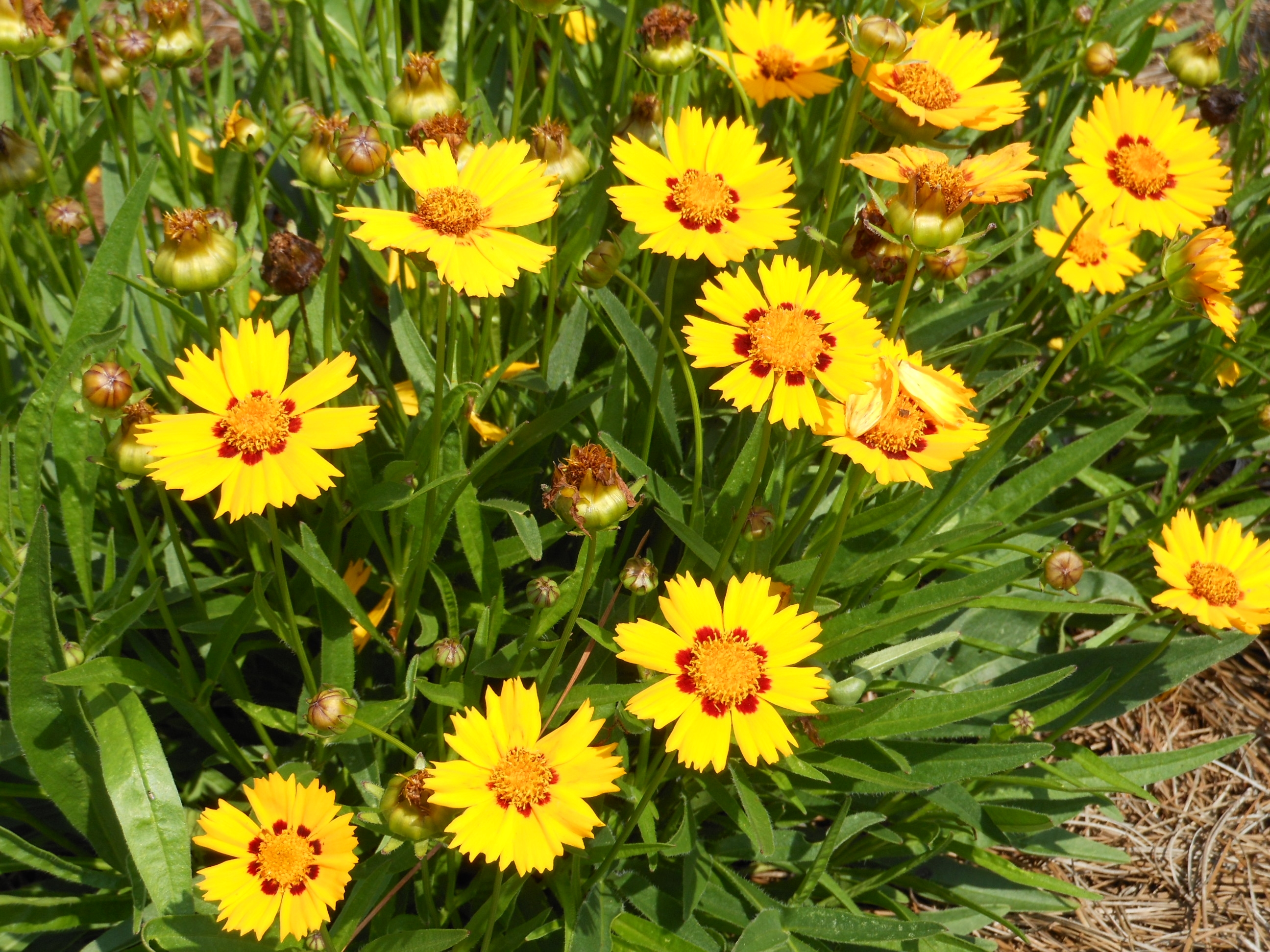 Sunfire coreopsis