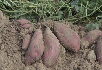 New sweet potato varieties on display at field day