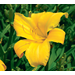 All-American Daylilies Chosen For 2006