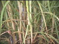 Researchers Study Sugarcane Cold Tolerance, Discuss New Varieties