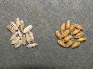 Diseased kernels vs. relatively healthy kernels