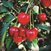 Harnessing Health Benefits of Tart Cherries