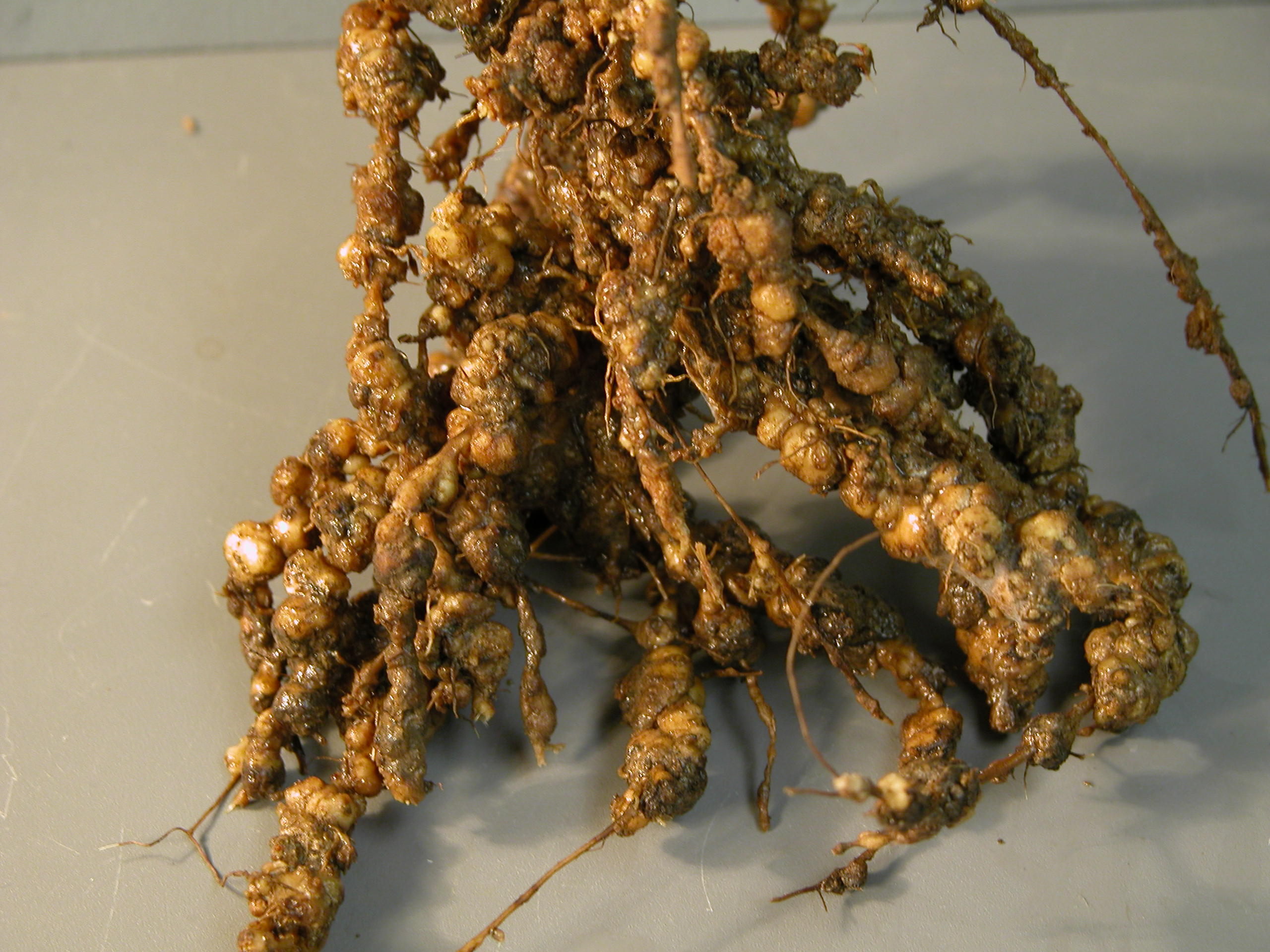 Damage to soybeans by nematodes.