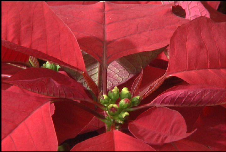 Proper care for poinsettias