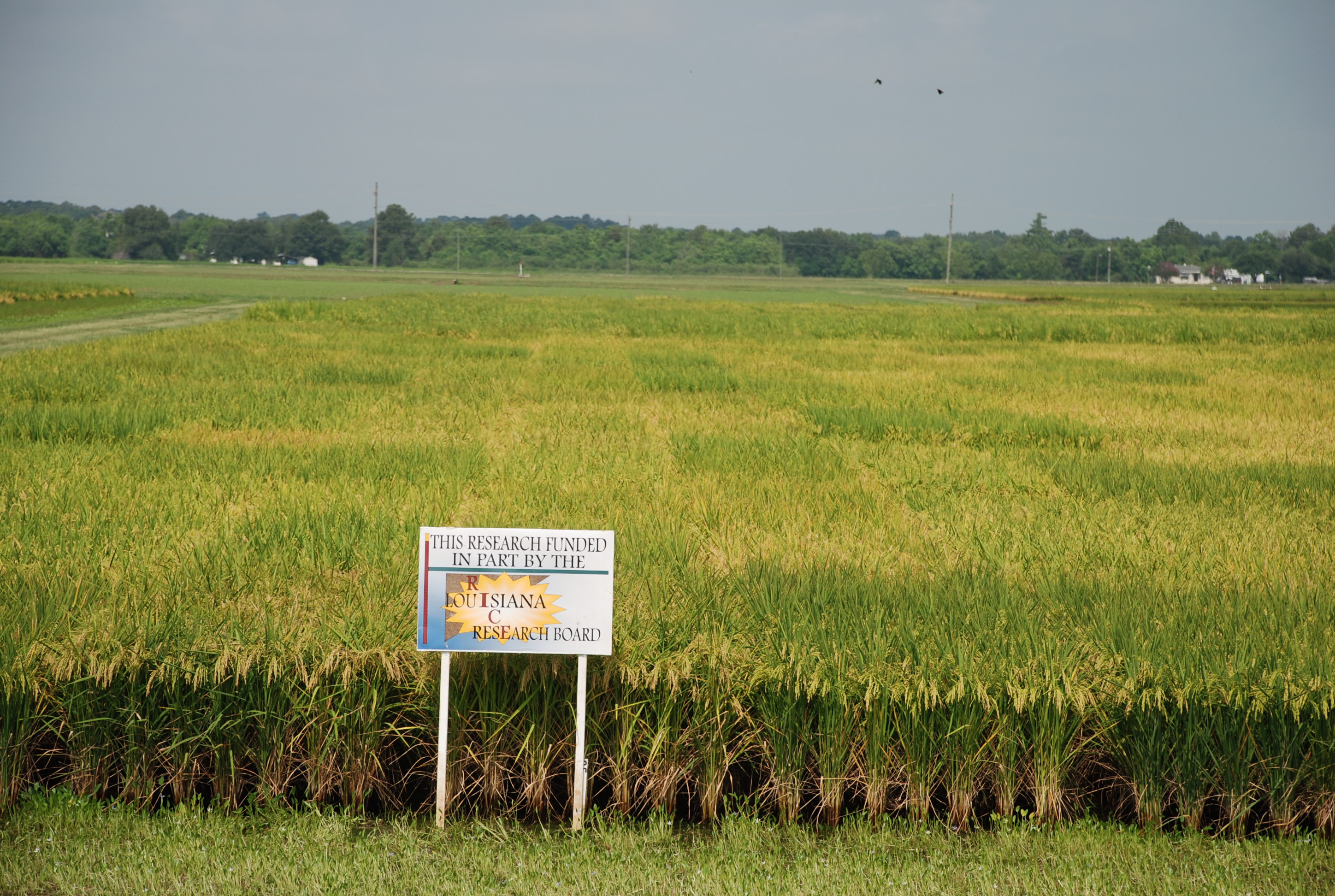 Rice Variety Selection - An Important First Step