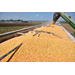Corn harvest off to a disappointing start