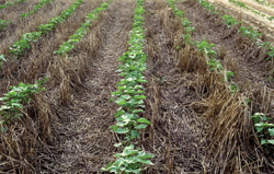 conservation tillage cover crops bmps for cotton